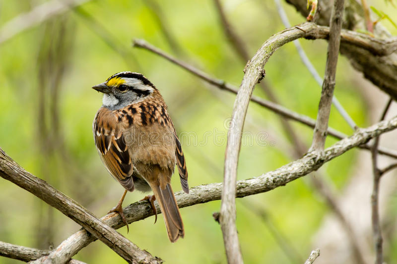 Download White Throated Sparrow stock photo. Image of perched - 26037622
