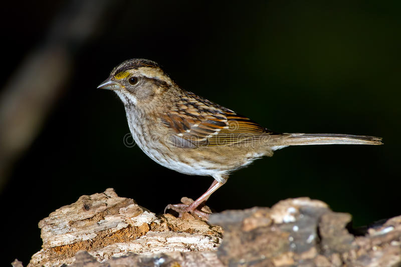Download White-Throated Sparrow stock image. Image of avian, branch - 27756401