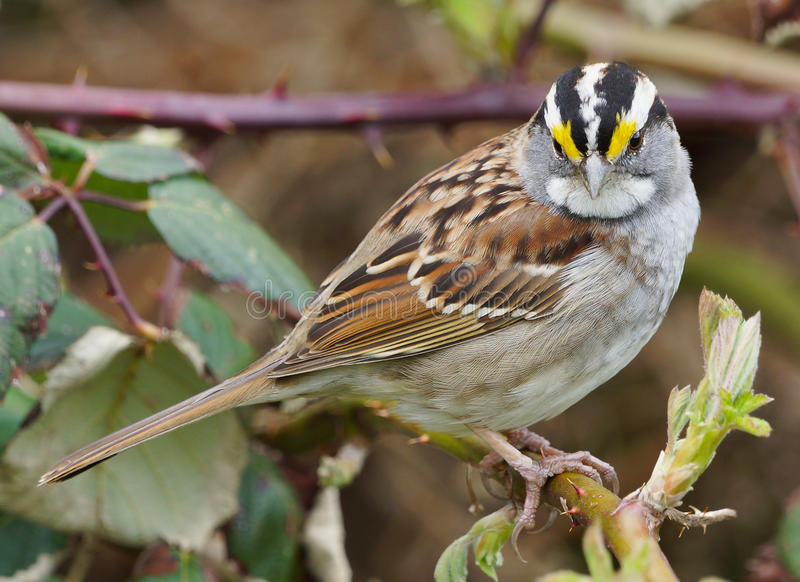 White Throated Sparrow royalty free stock photography