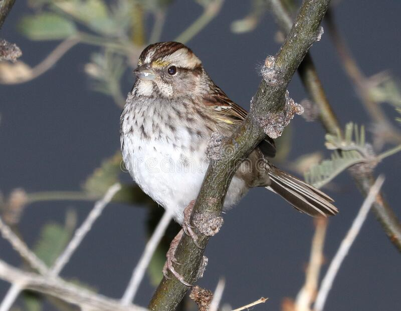 895 - WHITE-THROATED SPARROW (12-21-2016) patagonia lake, santa cruz co, az -01 stock photos