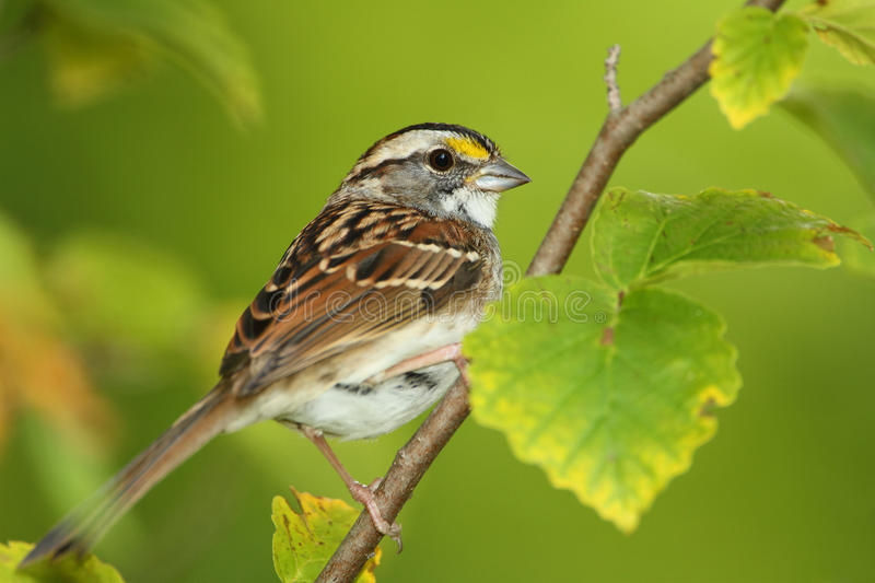 Download White-throated Sparrow Perched In A Shrub Stock Image - Image: 26891283