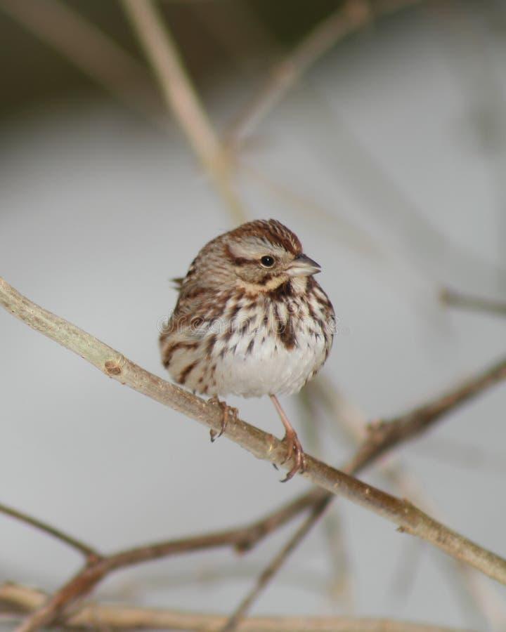White Throated Sparrow stock photo