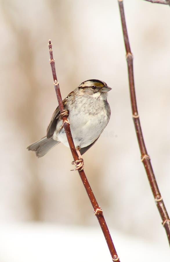 White Throated Sparrow royalty free stock photos