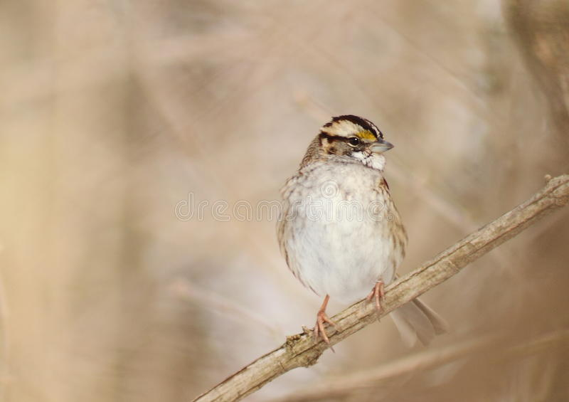 White Throated Sparrow royalty free stock image