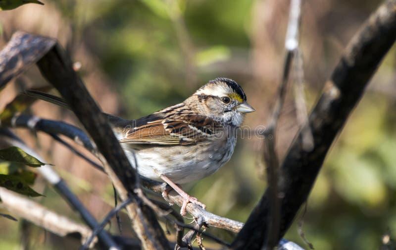 White-throated Sparrow songbird, Georgia USA stock photos