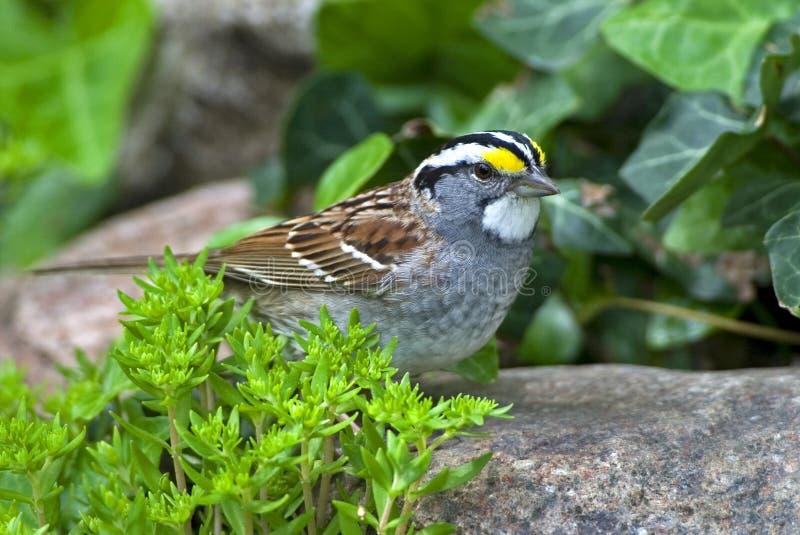 White-throated Sparrow (Zonotrichia Albicollis) Stock Photo