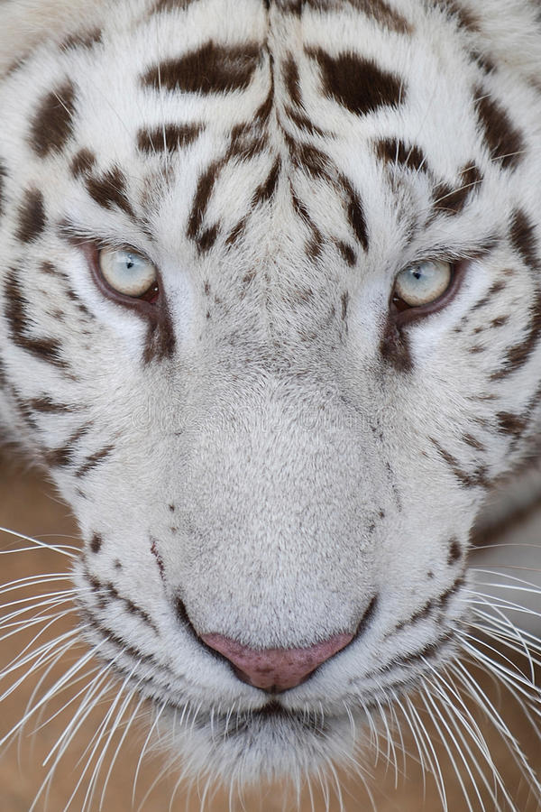 White tiger. Big white tiger close-up portrait looks like cool royalty free stock image