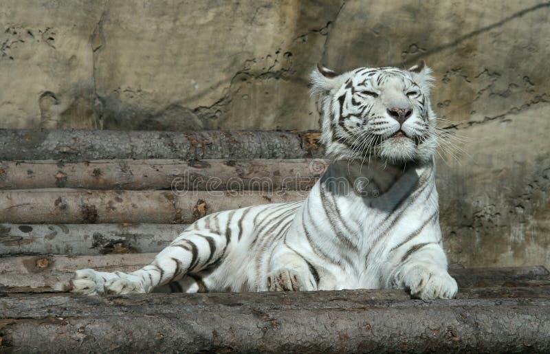 Download White tiger stock photo. Image of stripe, eyes, portrait - 10674934
