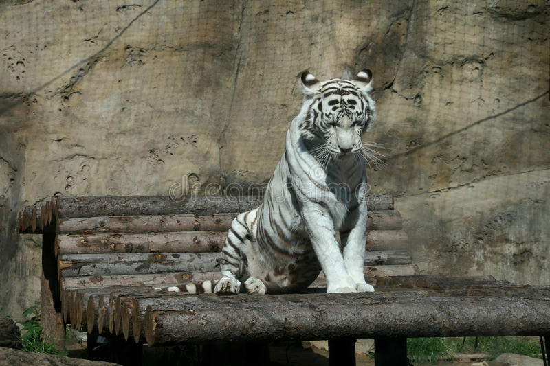 Download White tiger stock photo. Image of ears, 2010, dream, sleepy - 10689308