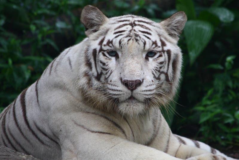 White Tiger. Big white tiger close-up portrait royalty free stock photos