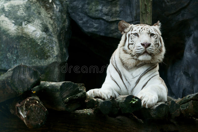 White tiger. (Royel bengal )) in the zoo
