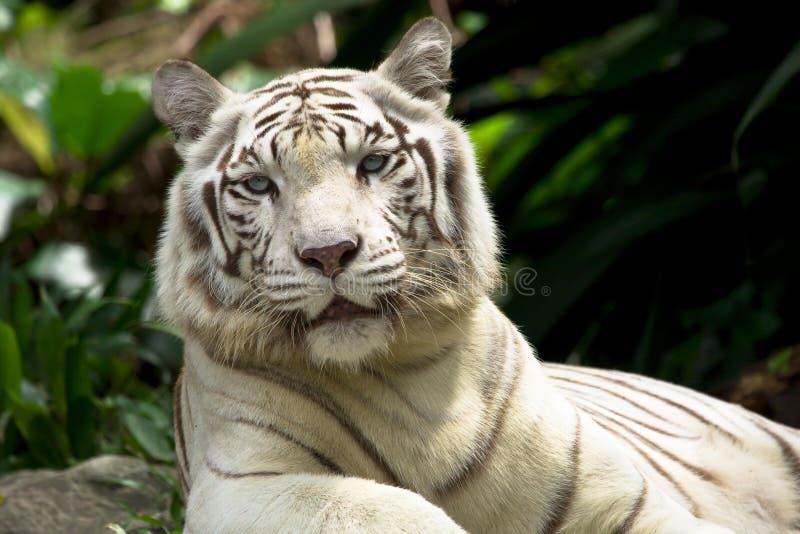White tiger. (also snow white or pure white stock photo
