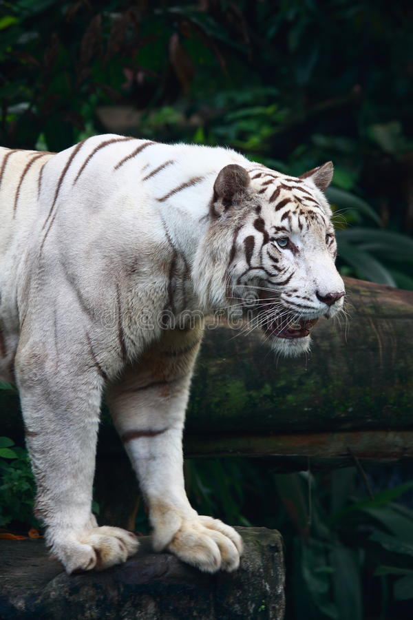 White Tiger. A big white tiger close-up portrait stock photo