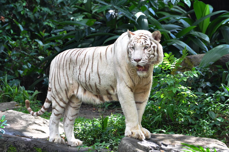 White Tiger. A white tiger is a tiger with a recessive gene that creates the pale coloration. Another genetic characteristic makes the stripes of the tiger very royalty free stock image