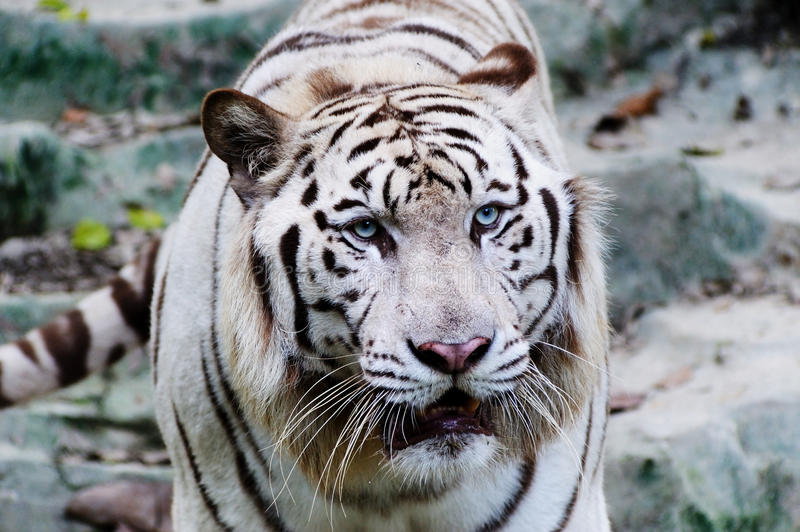 Download White Tiger Stock Photo - Image: 14136390