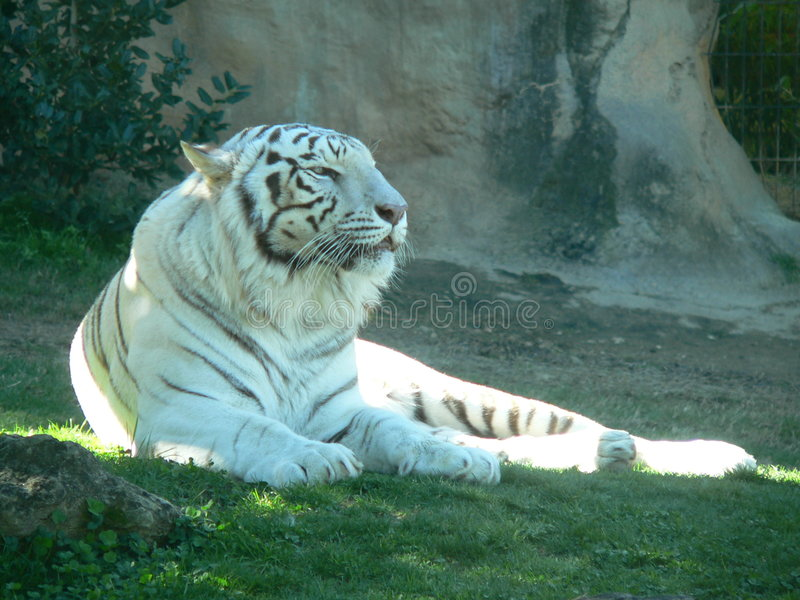 Download White Tiger stock image. Image of stripped, powerful, lounging - 1413671