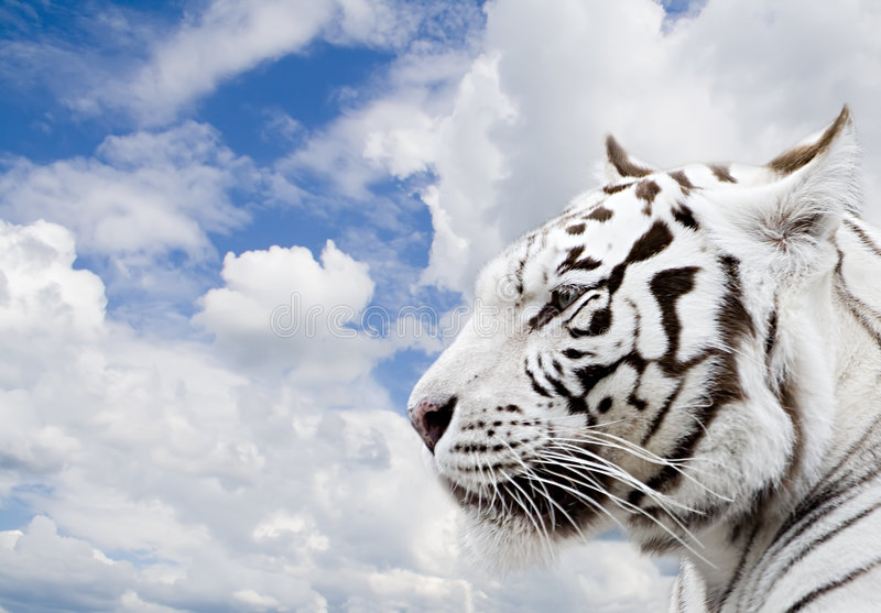 Download White tiger stock photo. Image of mammal, clouds, glance - 1645192