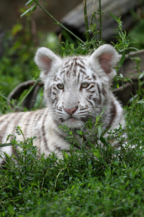 White tiger. A young white tiger portrait royalty free stock photo