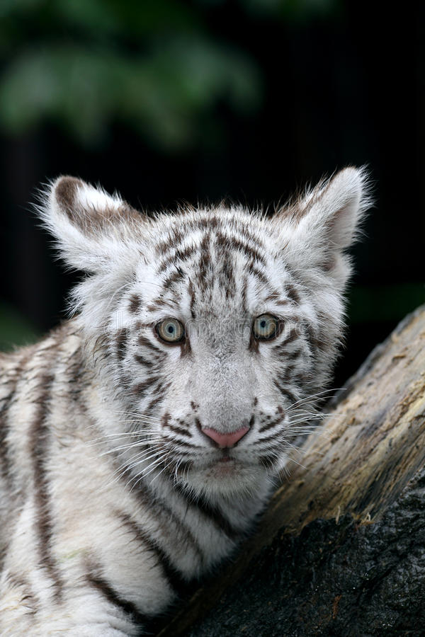 White tiger. A young white tiger portrait stock photography