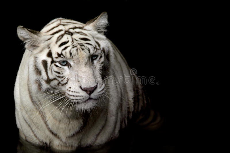 White Tiger. A rare white tiger found in the Singapore zoo against a black background stock photos