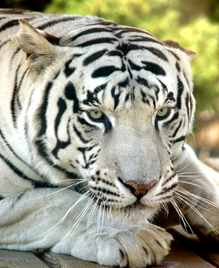 White Tiger. Face of a white tiger with ears back stock photography