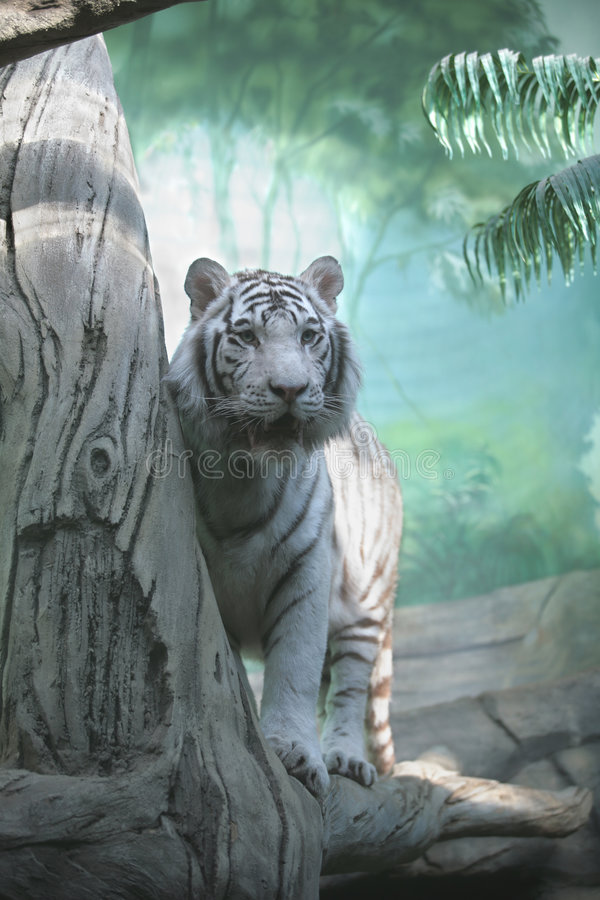White Tiger. In Green Semidarkness of Indian Jungle royalty free stock photo