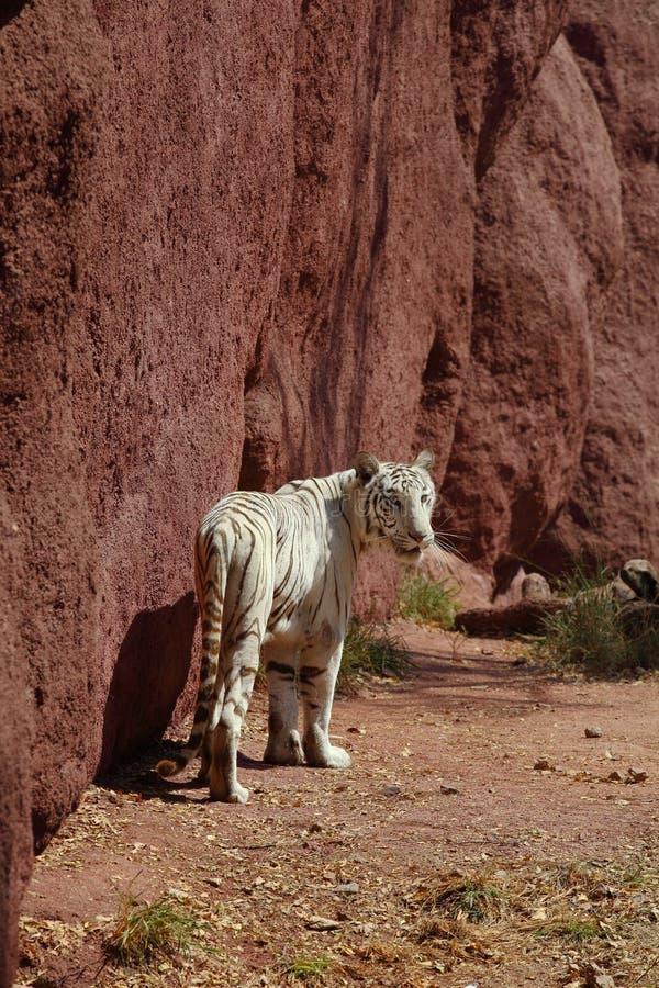 Download White Tiger stock image. Image of eyes, india, nehru - 23545221