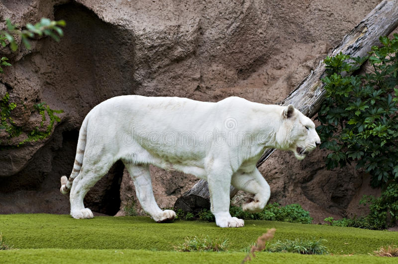 White tiger. Clear white tiger walking on green grass royalty free stock images