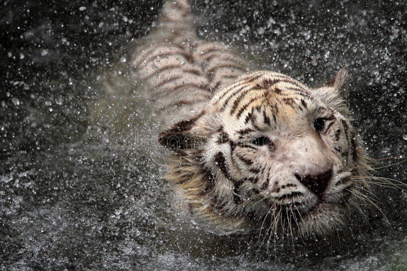 White tiger. Jumping into water royalty free stock photo