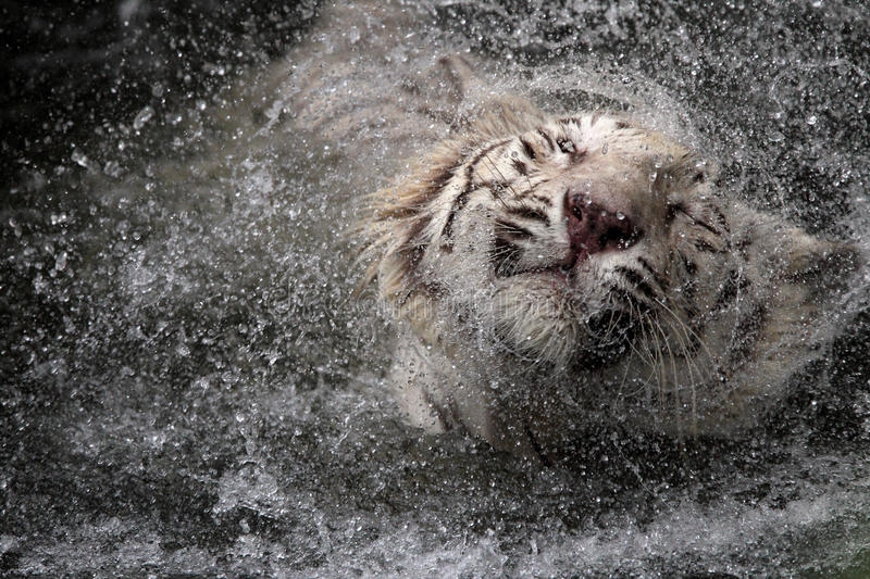 White tiger. Jumping into water stock images
