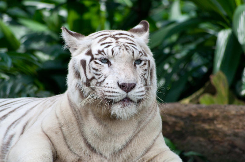 White Tiger. Male White Tiger display at Singapore Zoological Gardens stock photo