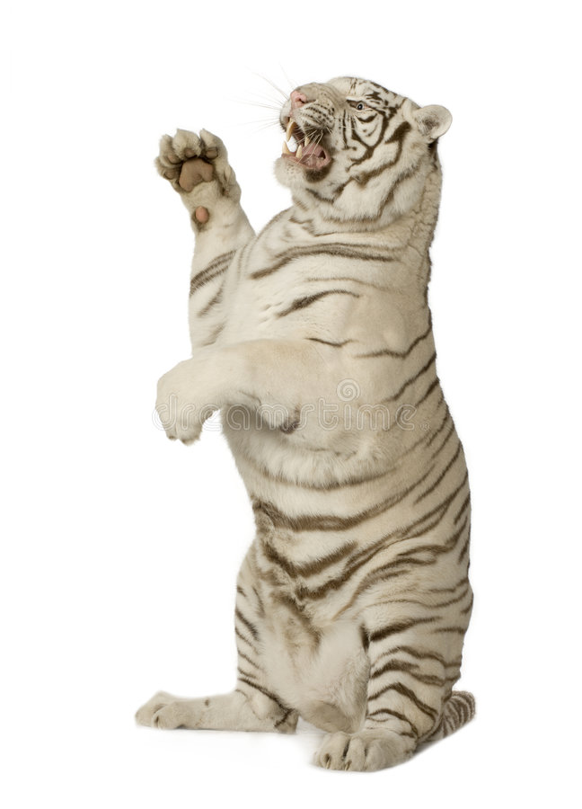 Download White Tiger  (3 years) stock image. Image of stripes, canine - 4243219