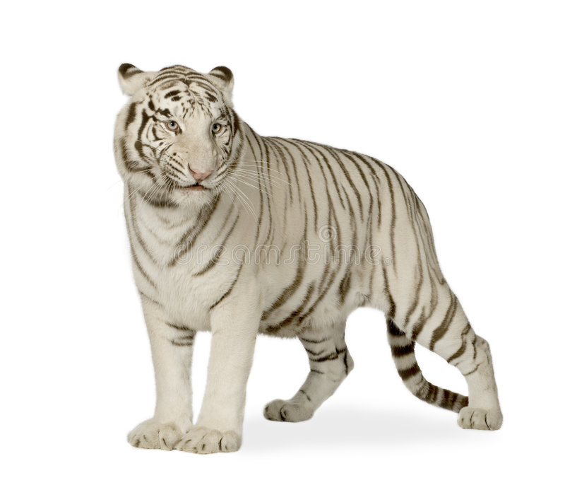 White Tiger (3 years) stock photo