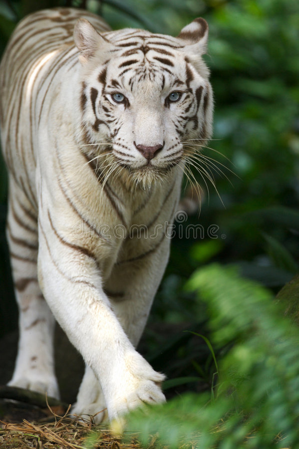 Download White Tiger Stock Photo - Image: 3676890