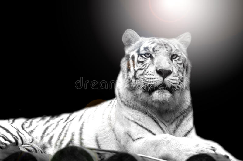 White Tiger. With the sharp eyes royalty free stock image