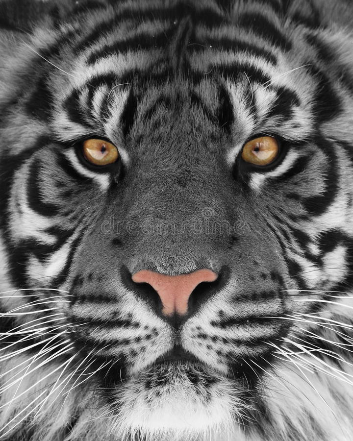 White tiger. Close up shot of white tiger portrait royalty free stock image