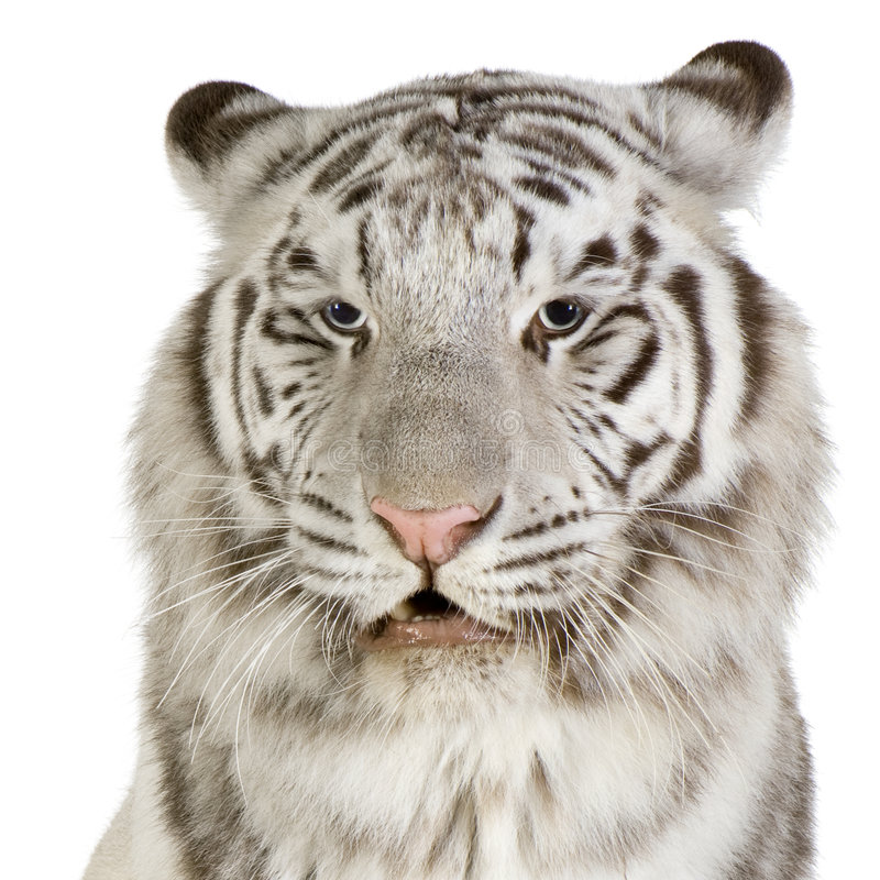 White Tiger. In front of a white background royalty free stock images