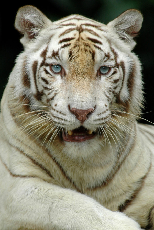 Free White Tiger Stock Photography - 475182