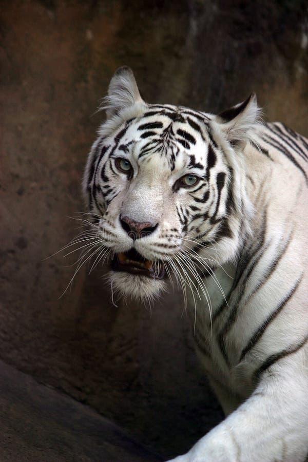 Download White tiger stock image. Image of reflection, albino, jungle - 608003