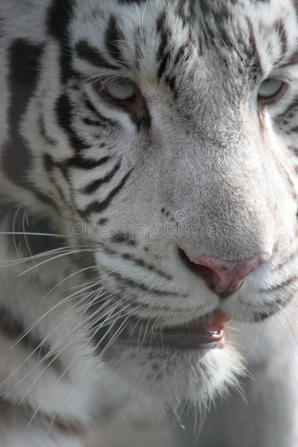 White tiger. Portrait with shallow depth of field effect stock photography