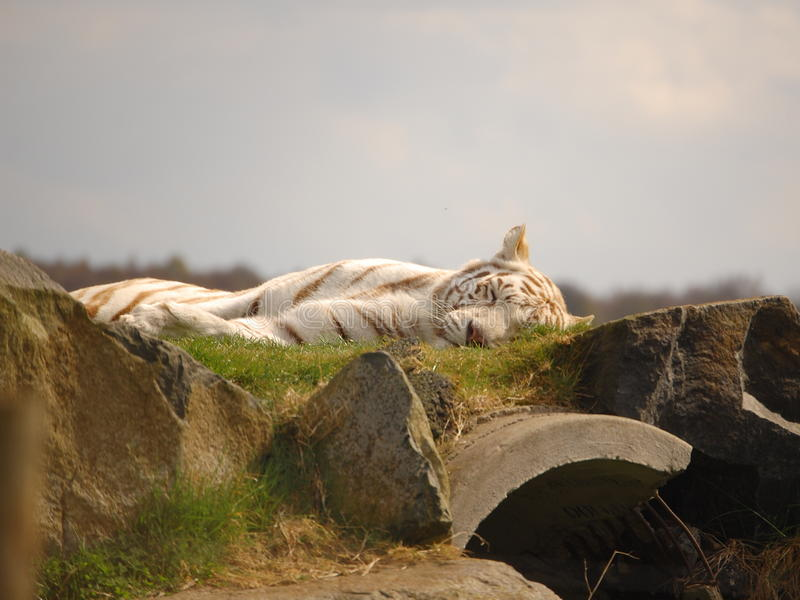 Download White Tiger stock image. Image of catnap, tiger, grass - 9464165