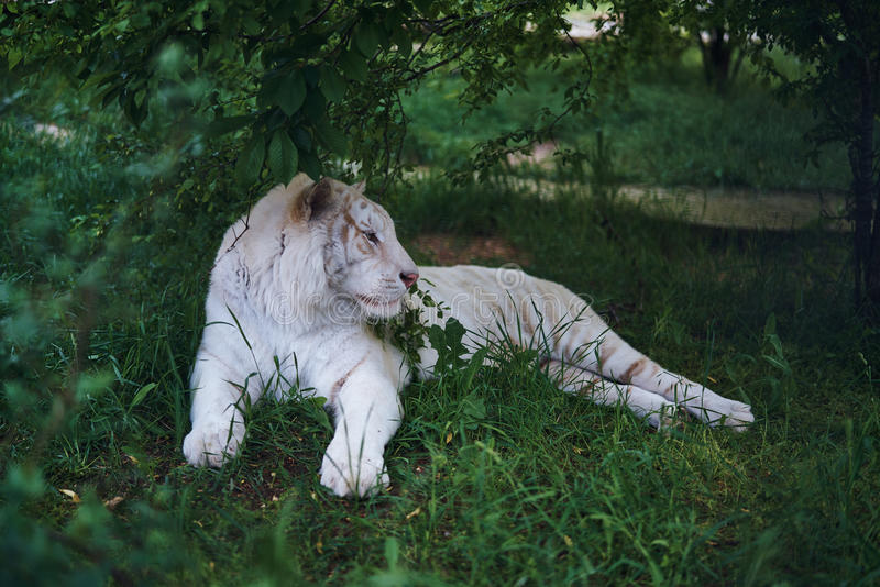 White tiger albino resting in the grass at the zoo in summer, wild animals.  royalty free stock image