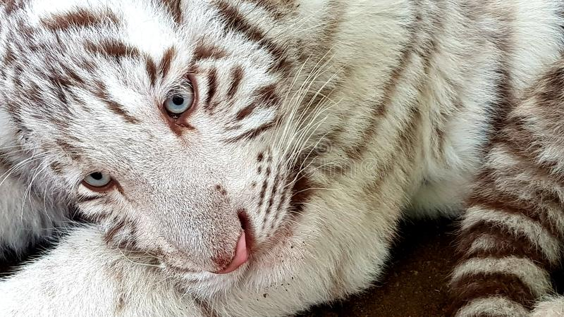 White Tiger Baby Cub In Zoo Stock Image - Image of carnivore