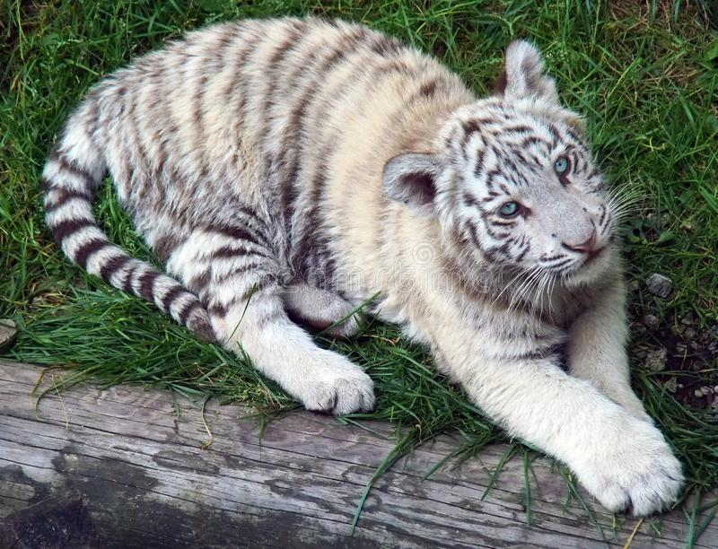 White Tiger Baby looking into the camera from below. stock photo