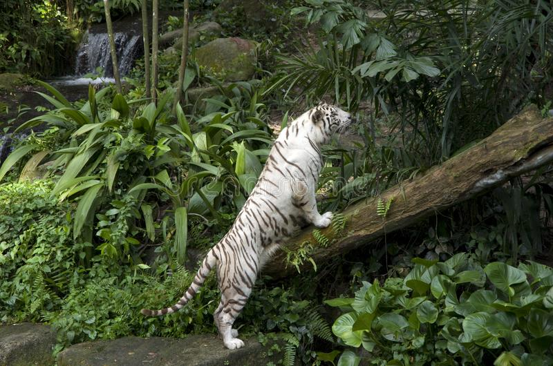 White tiger. In the beautiful Singapore Zoo stock photo