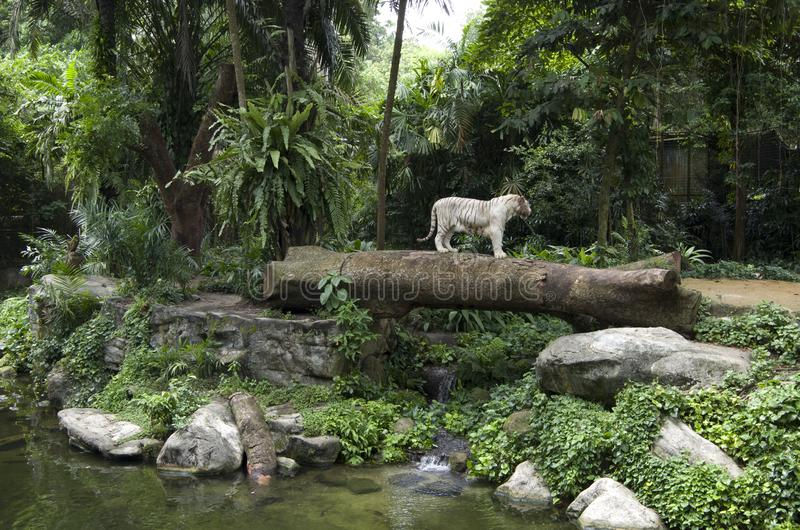 White tiger. In the beautiful Singapore Zoo stock photography