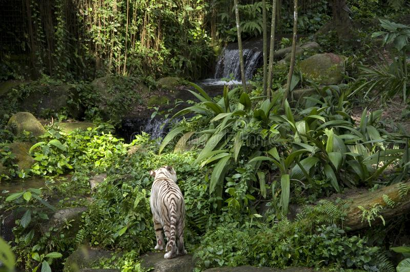 White tiger. In the beautiful Singapore Zoo royalty free stock images