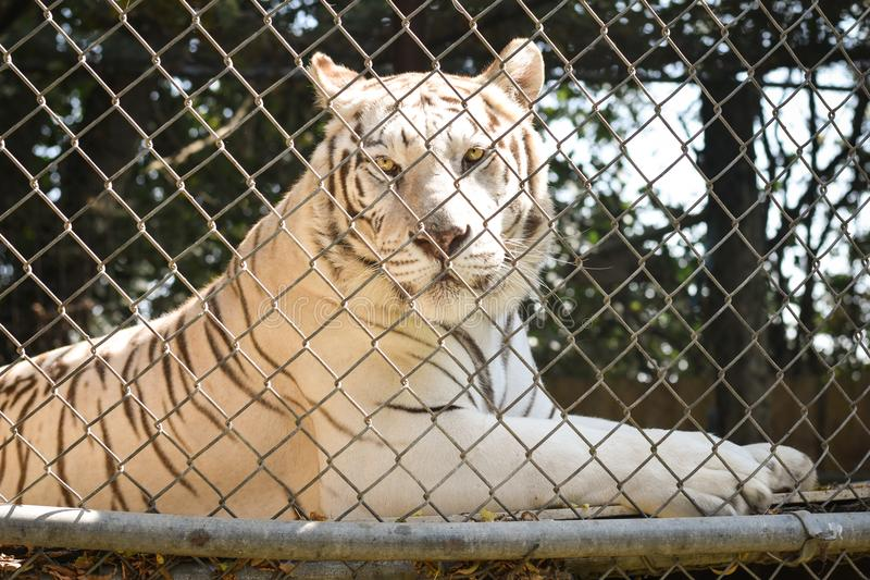 White Tiger in Captivity stock image
