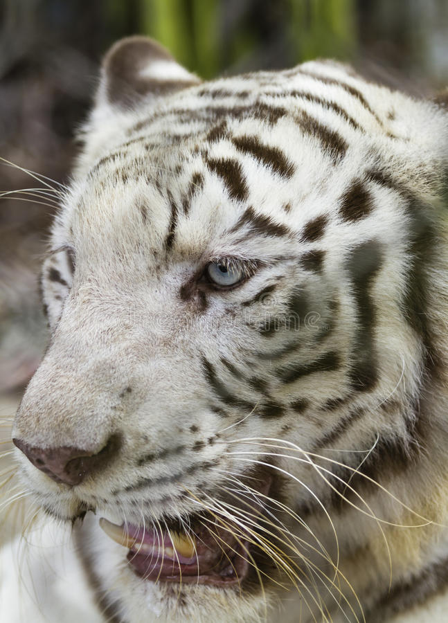 White tiger. White Bengal Tiger in a close uip view portrait royalty free stock photos