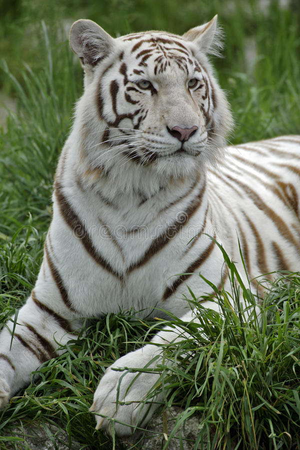 White Tiger. White Bengal Tiger / Indian Tiger lying in grass, portrait royalty free stock photo